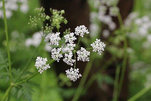 Anthriscus, Flower, Green, Summer, Cow Parsley