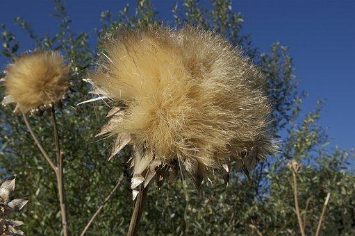 Cardunculus Scolymus, Globe Artichoke, Thistle