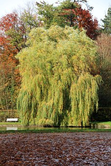 Tree, Pasture, Weeping Willow, Park, Bank