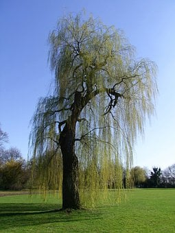 Weeping Willow, Pasture, Tree, Old, Old Tree