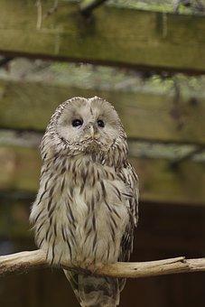 Ural Owl, Bird, Strix Uralensis, Tallinn Zoo