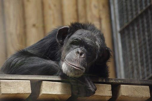 Common Chimpanzee, Great Ape, Chimpanzee, Animal, Ape