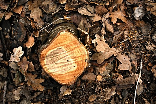 Stump, Birch, Rings, Oak Leaves, Leaves, Defeated, Tree