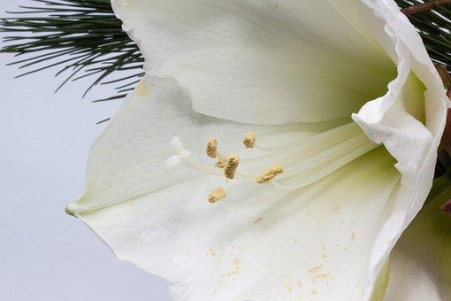 Amaryllis, Flower, Plant, Botany, Close, Inflorescence