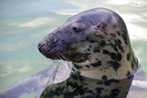 Gray Seal, Tallinn Zoo, Halichoerus Grypus, Mammals