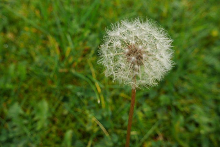 Dandelion, Green, Grass, Spring, Nature, Summer, Meadow