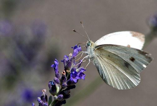 Pieride Rave, Butterfly, Insect, Nature, Moth, Garden