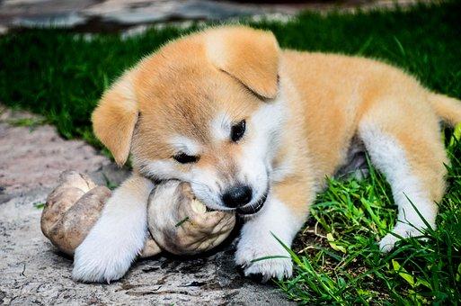 Bone, Cachorra, Female, Dogs, Akita Inu, Pope, Animals