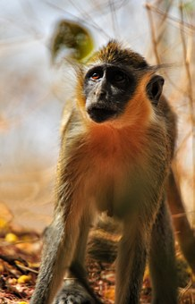 Baboon Chamka, Monkey, Africa, Senegal, Animal