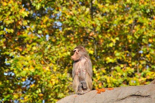 Baboons, Papio, Old World Monkey Relatives