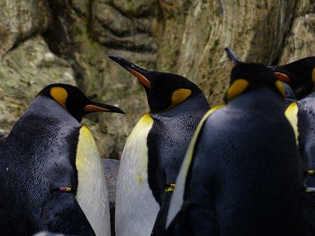 King Penguins, Penguins, Beaks, Look, Wait
