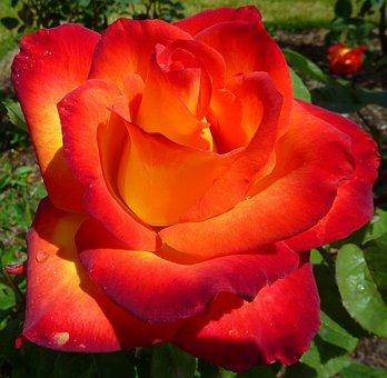 Rose, Flower, Bloom, Red, Macro, Beauty, Plant, Petal