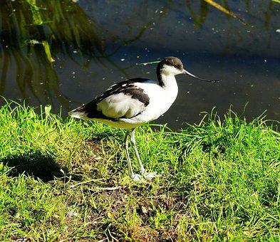 Bird, Stilt Bird, Long Legs, Black And White, Bill