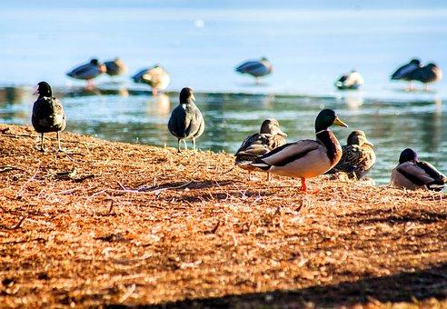 Bird, Duck, Pond, Water, Nature, Swarm, Lake, Forest