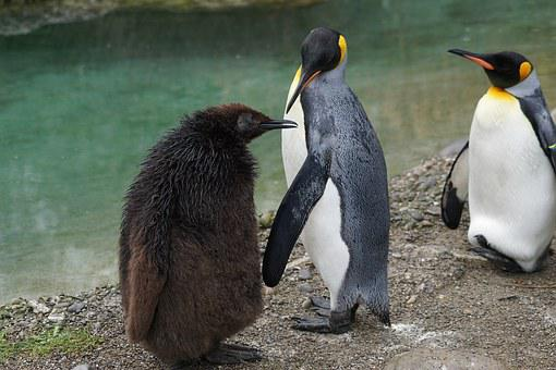 Animals, Bird, Terrestrial Vertebrates, King Penguin
