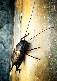 Cricket, Insect, Cantor, Antennas, Black, Macro, Nature
