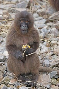 Animals, Primate, Dschelada, Blood Baboon, Food