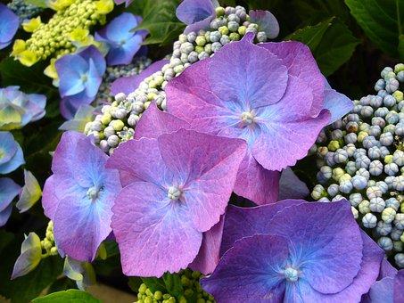Blue Hydrangea, Flowers, Floral, Bloom, Blossom, Garden