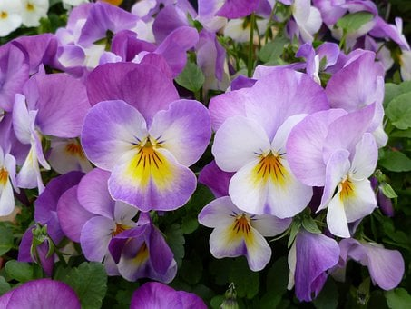 Pansies, Garden Pansy, Flowers, Floral, Bloom, Blossom