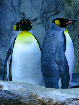 Penguins, King Penguin, Calgary Zoo