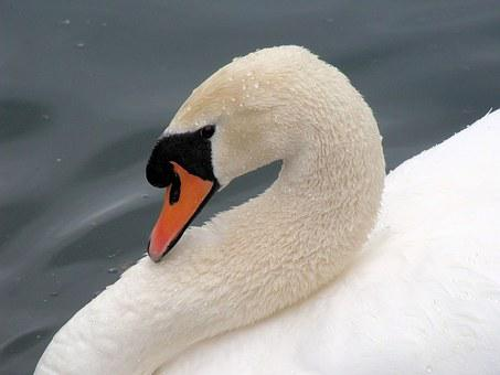 Swan, Bashful, Bird, White, Calm, Elegance, Feather