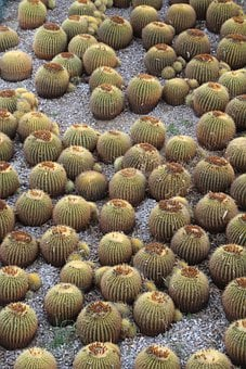 Cacti, Cactus, California, Plants, Desert, Natural, Dry
