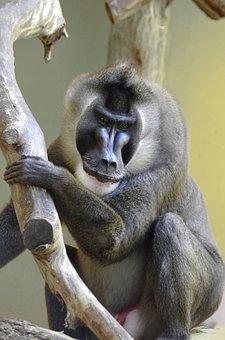 Drill, Baboon, Endangered, Africa, Nigeria, Dangerous