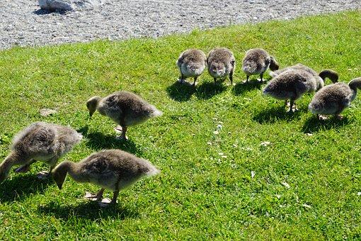 Ducks, Bird, Meadow, Young, Animal, Field, Nature, Hof