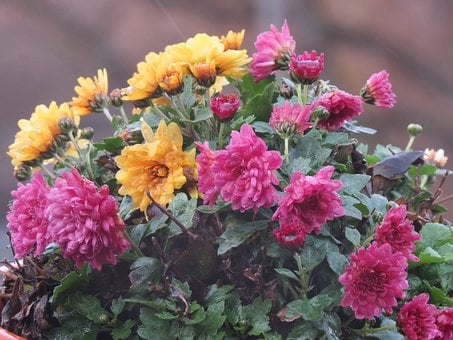 Aster, Winter Aster, Rainy Weather, Wet, Pink, Flower