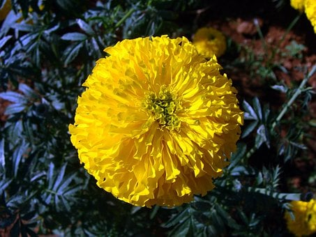 Marigold, Flower, Yellow, Genda, Jhenduphool