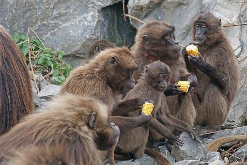 Animals, Primates, Dscheladas, Blood Baboons, Food
