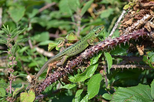 Green Lizard, Lacerta Bilineata And Viridis