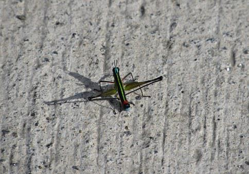 Cricket, Shadow, Colors, Insect, Ground, Green
