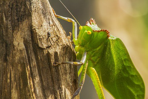 Photography, Nature, Insects, Hope, Katydid, Animal