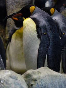 King Penguin, Penguin, Aptenodytes Patagonicus