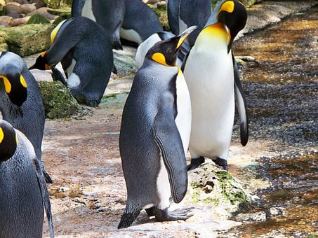 King Penguin, Aptenodytes Patagonicus, Aquatic, Bird