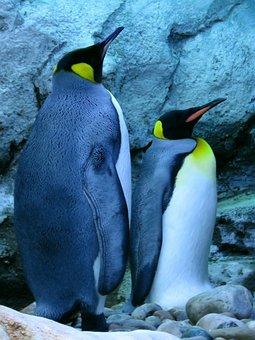 King Penguin, Penguins, Calgary Zoo