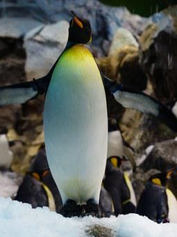 King Penguin, Penguin, Breast, Yellow, White