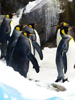 King Penguins, Penguins, Aptenodytes Patagonicus