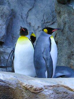 King Penguins, Penguins, Calgary Zoo