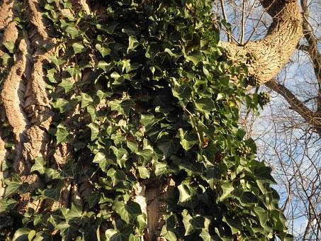 Ivy, Climber, Common Ivy, Green, Leaves, Plant