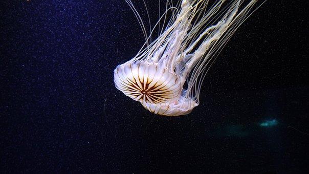 Jellyfish, Cnidarian, Medusa, Transparent, Meduse