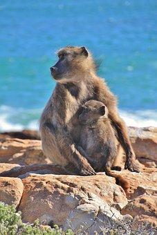 Monkey, Monkey Family, äffchen, Ape, Baboon, Animal