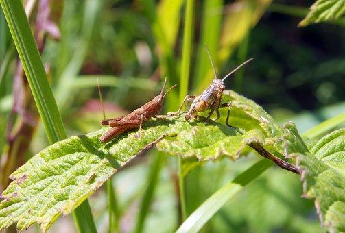 Grasshopper, Cricket, Konik, Insect, Green, Nature