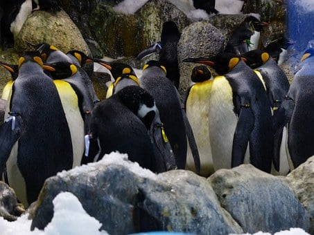 King Penguins, Penguins, Penguin Group, Penguin Band