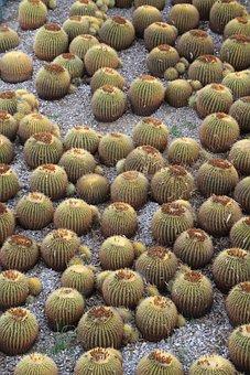 Cacti, Cactus, California, Plants, Desert, Natural, Dry