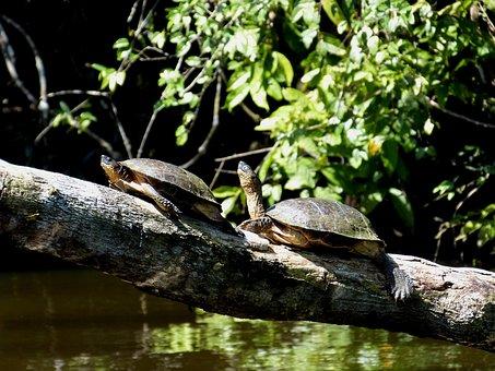 Turtles, Turtle, Animal, Water Creature, Log, Sit, Sun