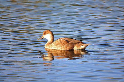 Ave, Animals, Animal, Pond, Water Animal, Ducks