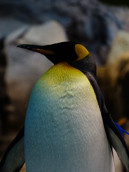 King Penguin, Breast, Yellow, White, Penguin, Head