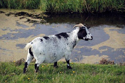 Goat, Farm, Animal, Mammal, Domestic, Milk, Countryside